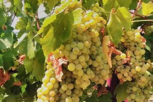 grapes in alentejo portugal